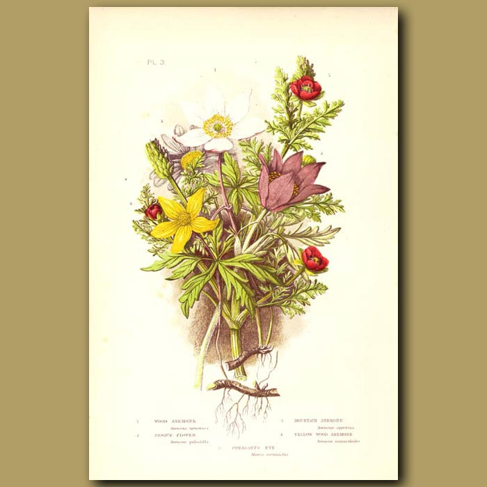 Antique print. Wood Anemone, and Pasque Flowers
