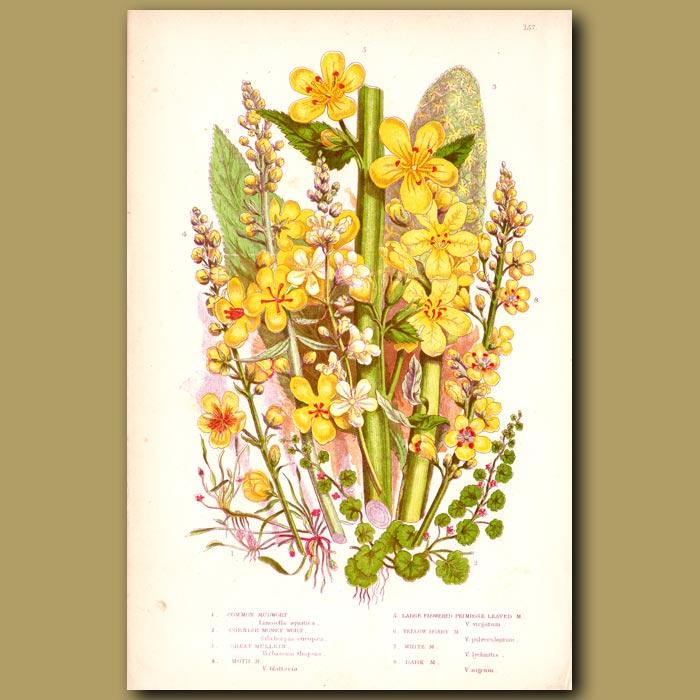 Antique print. Mudwort and Mullein flowers