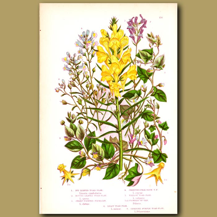 Antique print. Toad Flax flowers
