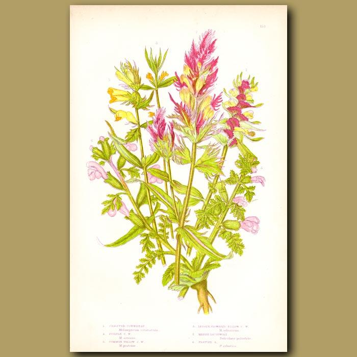 Antique print. Cow-wheat flowers