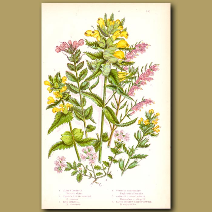 Antique print. Bartsia, Eyebright and Yellow Rattle