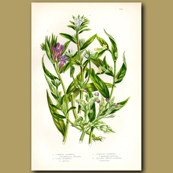 Antique print. Gromwell flowers