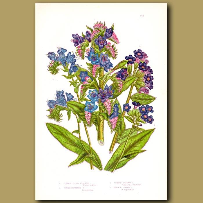 Antique print. Viper Burgloss flowers