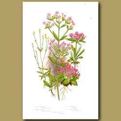 Dwarf Gentian flowers