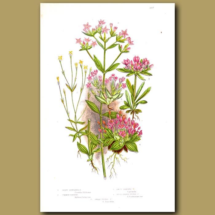 Antique print. Dwarf Gentian flowers