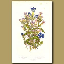 Marsh Gentian, Alpine Gentian and Spring Gentian