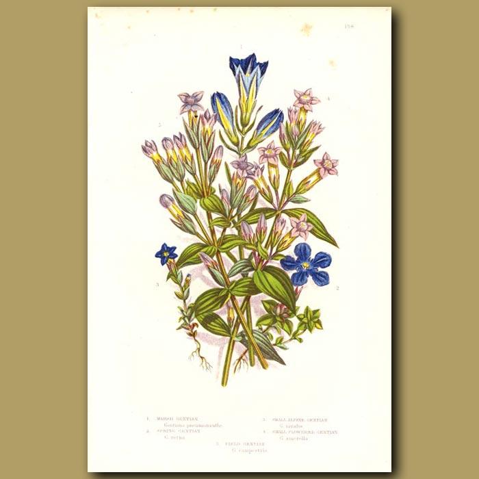 Antique print. Marsh Gentian, Alpine Gentian and Spring Gentian