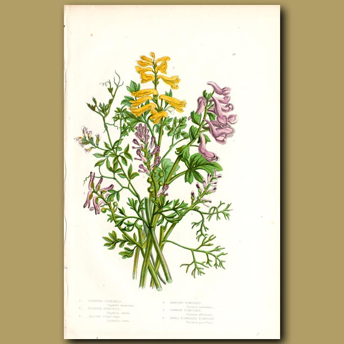 Antique print. Fumitory flowers
