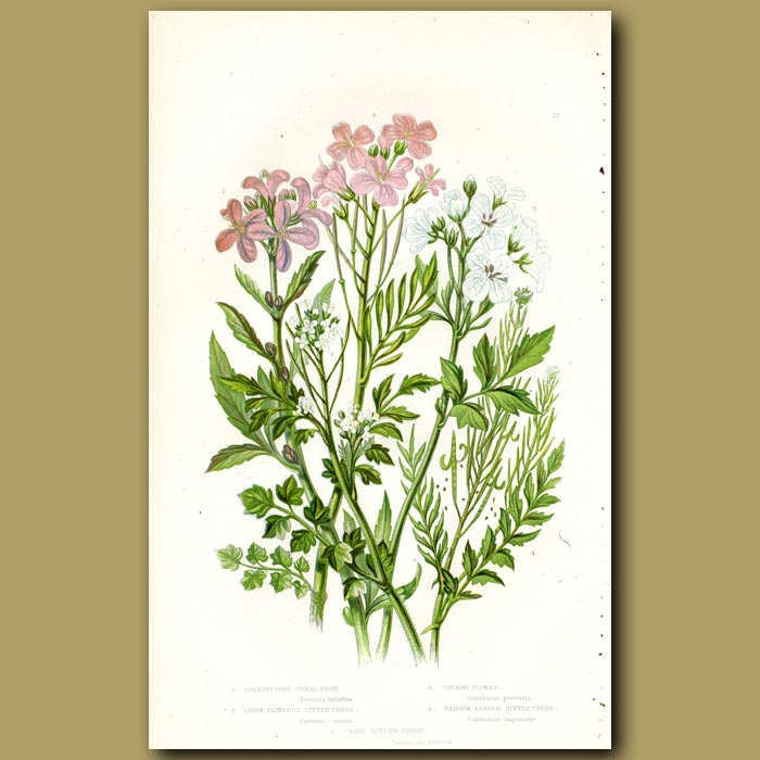 Antique print. Coral Root, Bitter Cress and Cuckoo flower