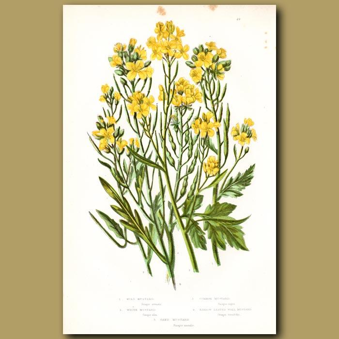 Antique print. Wild Mustard flowers