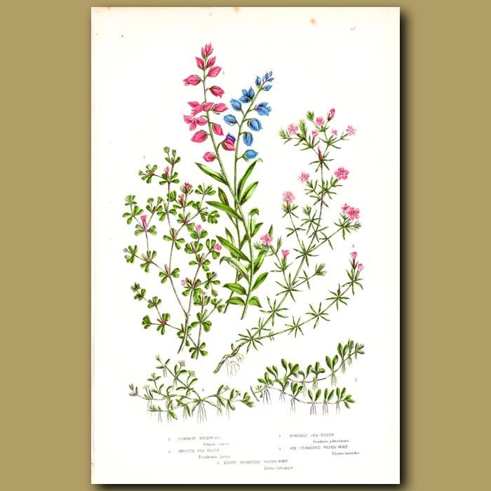 Antique print. Milkwort and Sea-Heath