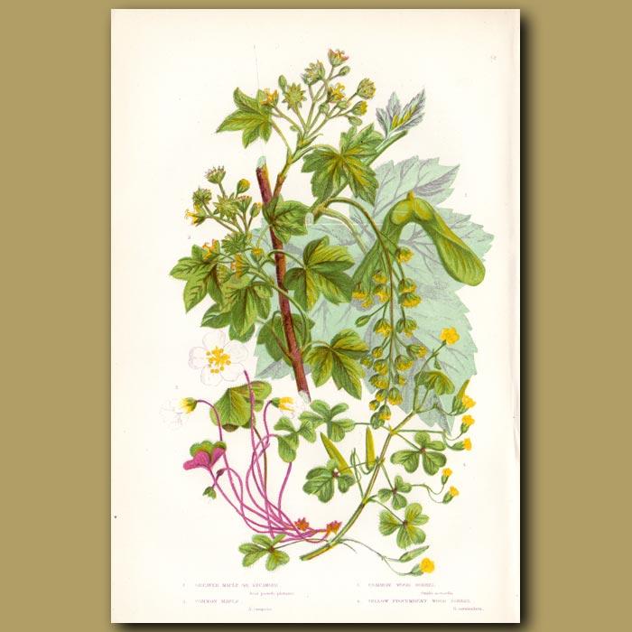 Antique print. Maple and Sorrel