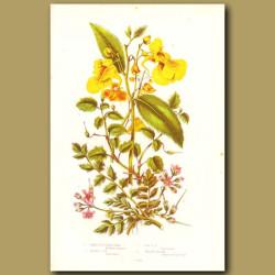 Hemlock and Yellow Balsam