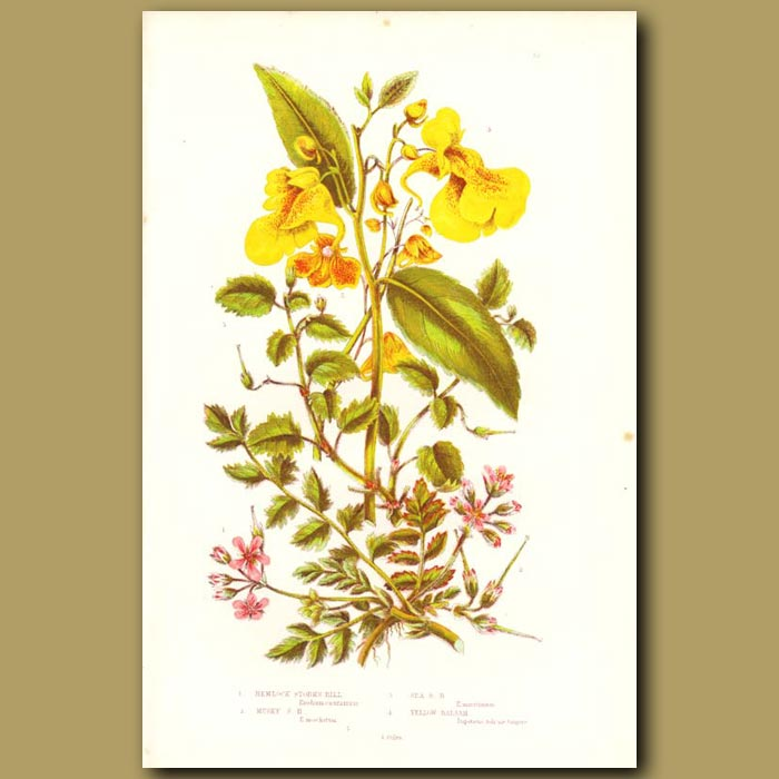Antique print. Hemlock and Yellow Balsam