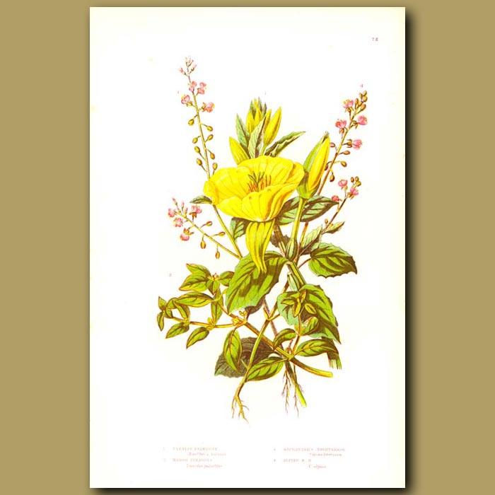 Antique print. Evening Primrose Flowers