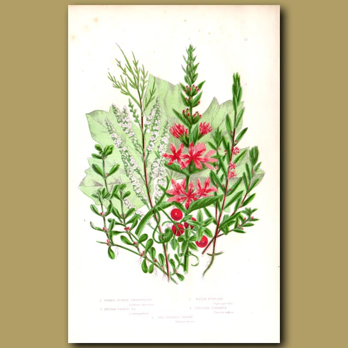 Antique print. Loosestrife, Purslane, Tamarisk and Red-berried Briony