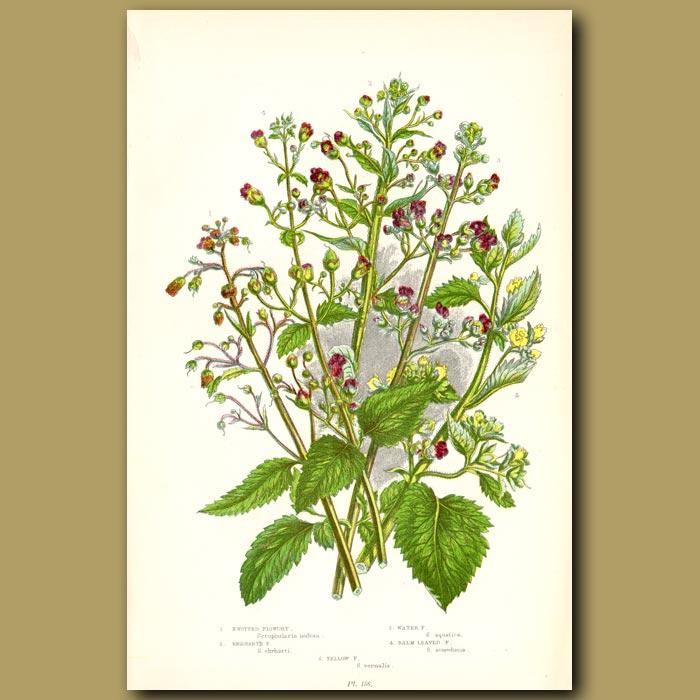 Antique print. Figwort flowers