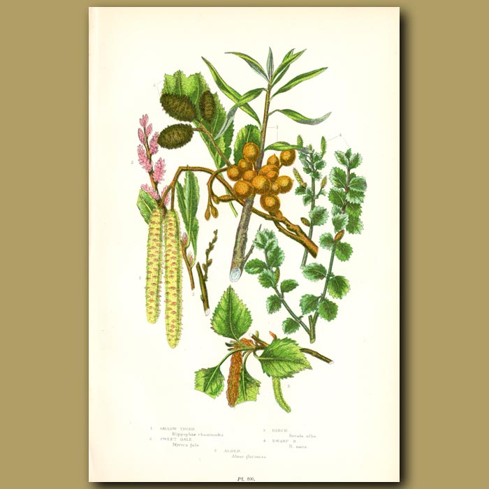 Antique print. Sallow Thorn, Sweet Gale and Birch