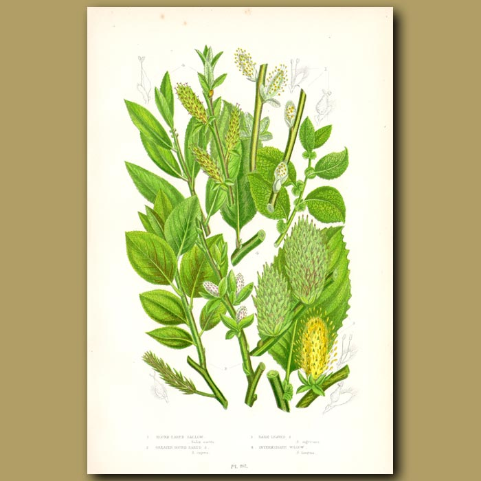 Antique print. Sallow and Willow