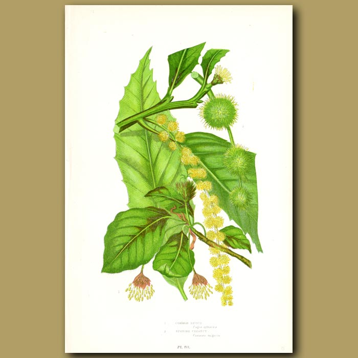 Antique print. Beech and Chesnut
