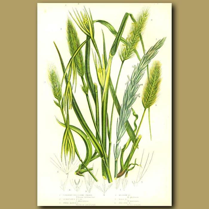Antique print. Sea Lyme Grass
