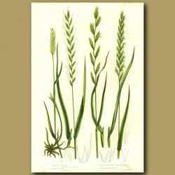 Wheat, Sea Grass and Couch Grass
