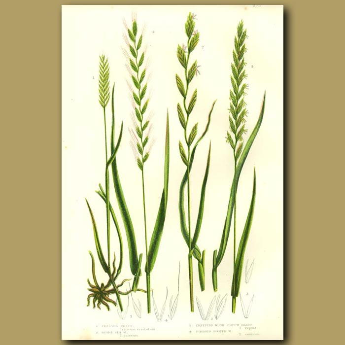 Antique print. Wheat, Sea Grass and Couch Grass