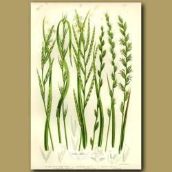 Rye Grass