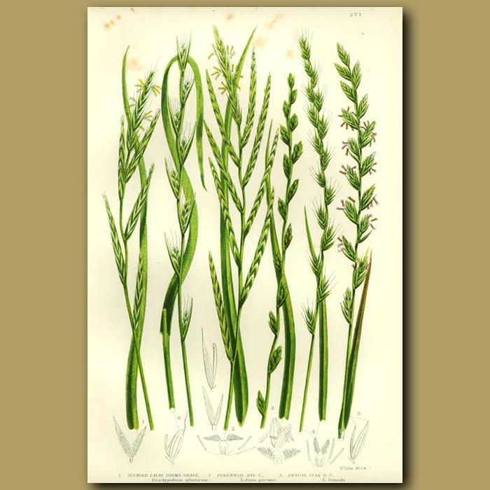 Antique print. Rye Grass