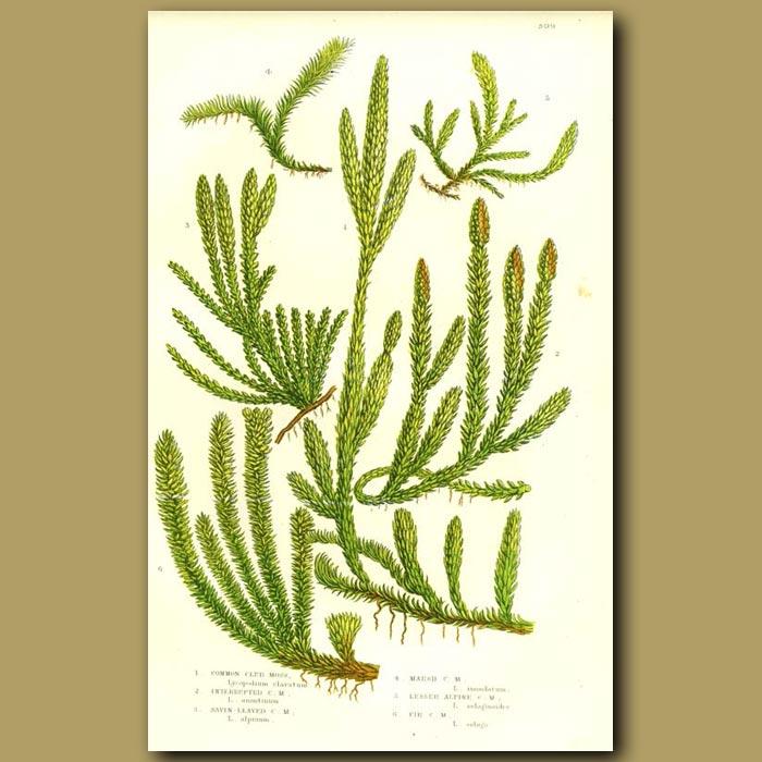 Antique print. Club Moss