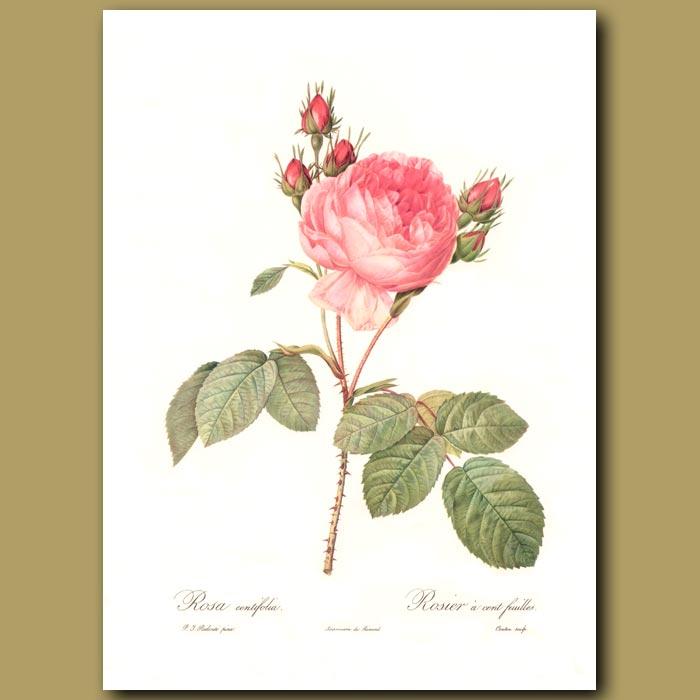 Antique print. Pink Rose (Rosa centifolia)