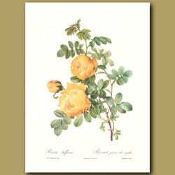 Yellow Rose (Rosa sulfurea)