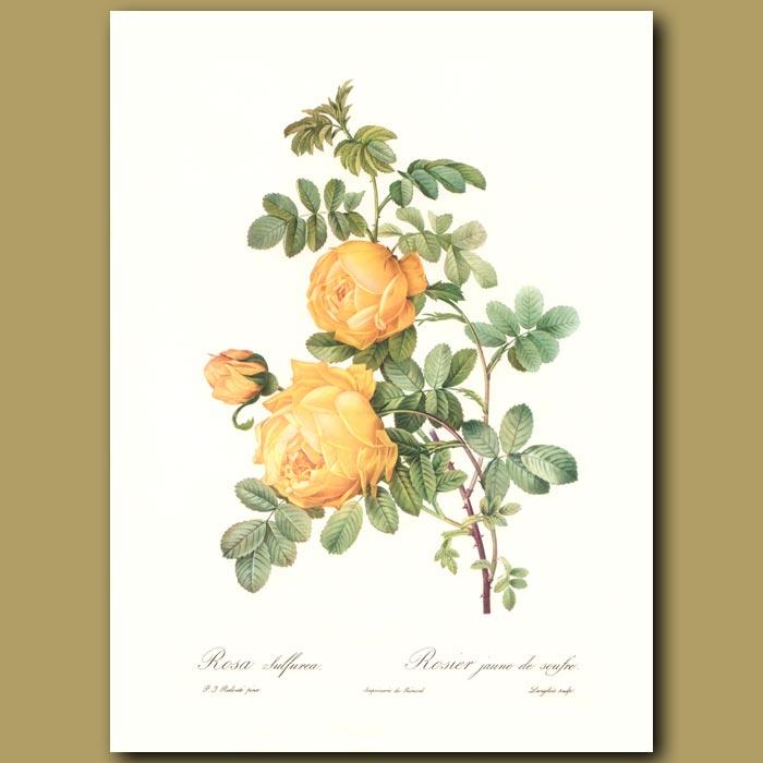 Antique print. Yellow Rose (Rosa sulfurea)