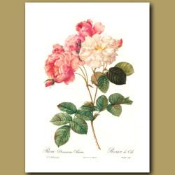 Pink Rose (Rosa damascena celsiana)