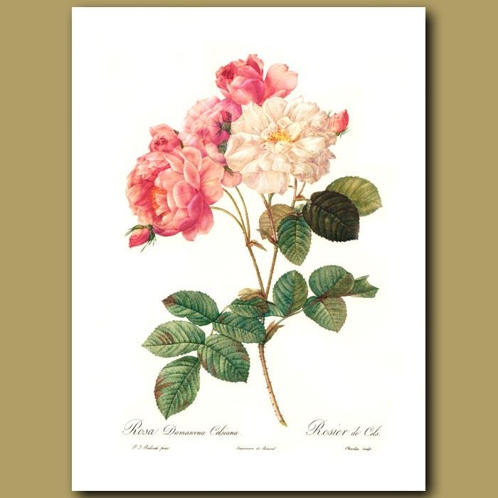 Antique print. Pink Rose (Rosa damascena celsiana)