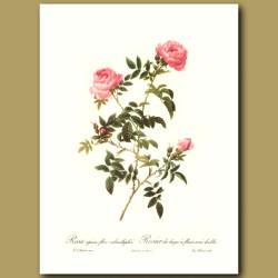 Pink Rose (Rosa sepium flore)