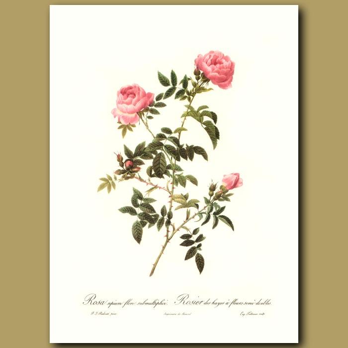 Antique print. Pink Rose (Rosa sepium flore)