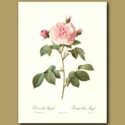 Pink Rose (Rosa alba regalis)
