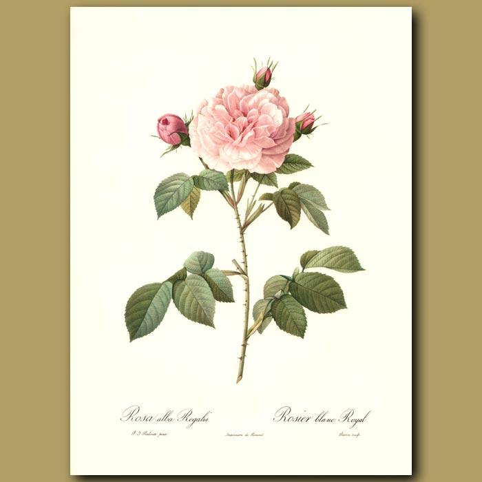 Antique print. Pink Rose (Rosa alba regalis)