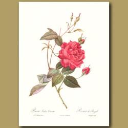 Red Rose (Rosa indica cruenta)