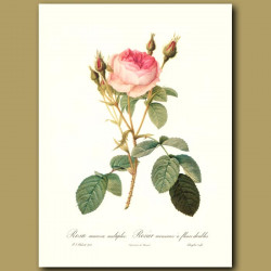 Pink Rose (Rosa muscosa multiplex)