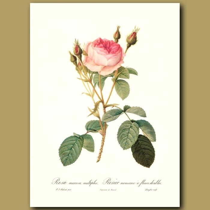 Antique print. Pink Rose (Rosa muscosa multiplex)