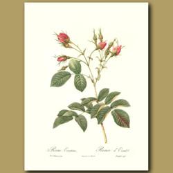 Pink Rose (Rosa evratina)