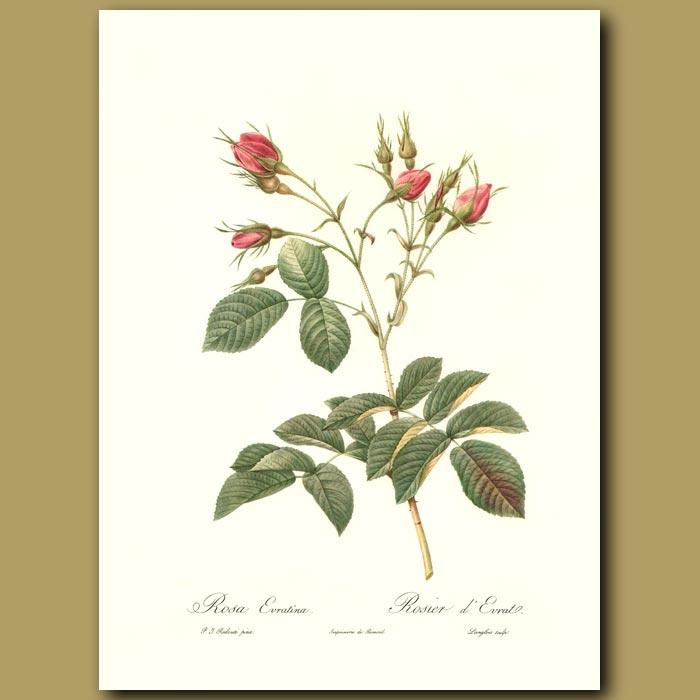 Antique print. Pink Rose (Rosa evratina)