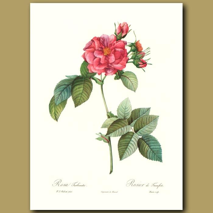 Antique print. Red Rose (Rosa turbinata)