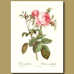Pink Rose (Rosa centifolia foliacea)