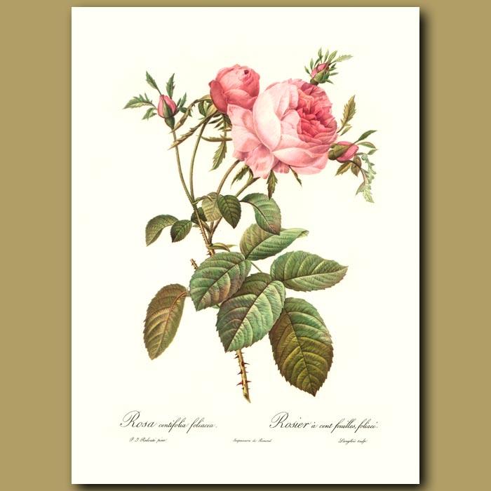 Antique print. Pink Rose (Rosa centifolia foliacea)