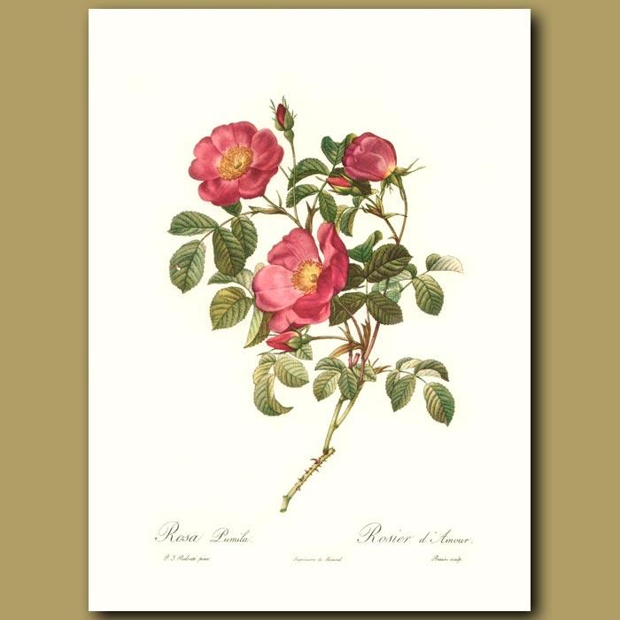 Antique print. Red Rose (Rosa pumila)