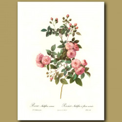 Pink Rose (Rosa multiflora carnea)