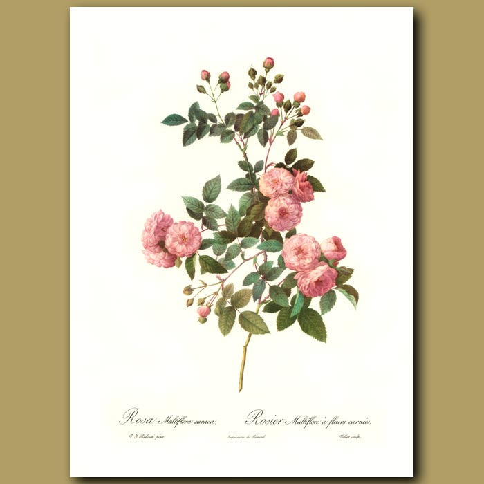 Antique print. Pink Rose (Rosa multifloracarnea)